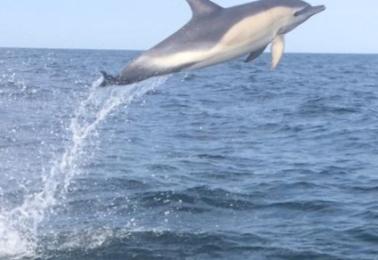 Delfin utanför Glommen